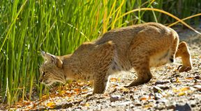 Bobcat drops lower to prepare to pounce. Prey is in sight in the tall grass, and wild bobcat drops down in predatory preparation for final pounce Stock Photography