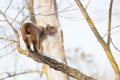 Bobcat on edge of branch. In wintertime Royalty Free Stock Image