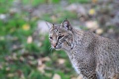 Bobcat- eller fjärdlodjur Arkivbild