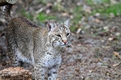 Bobcat- eller fjärdlodjur Arkivfoton