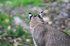 Bobcat- eller fjärdlodjur Royaltyfri Fotografi