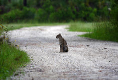 Bobcat in the Everglades. A small bobcat rests on a backcountry road in the Everglades, Big Cypress National Preserve Royalty Free Stock Photos