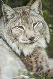 Bobcat face Stock Photography