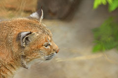 Bobcat, Felis Lynx rufus. Portrait Stock Photography