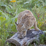 Bobcat female and kitten on log. The bobcat parent bathes her kit while protecting her in the forest Royalty Free Stock Images