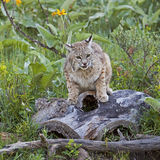 Bobcat female protecting baby kittens on log. The bobcat parent watches over her young kits in the forest and hides them in the grass Stock Photos