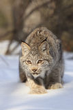 Bobcat fixated onto prey. Bobcat in classic hunting stance in the snow in the mountains Stock Image