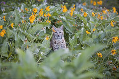 Bobcat in balsamroot flowers. The feline bobcat Lynx rufus in the mountains remains hidden in the wild flower background blossoms of Balsam Root Royalty Free Stock Photo