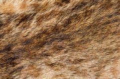 Bobcat Fur Background Royalty Free Stock Image