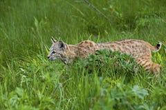 Bobcat in grasrijke weide Stock Foto's