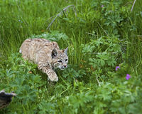 Bobcat in grassy meadow. Bobcat crouches and approaches its prey on the forest floor Stock Images