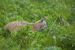Bobcat in grassy meadow. The Bob Cat moves through the grass in the wildflowers Stock Image