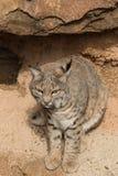 Bobcat Head On Royaltyfri Foto
