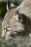Bobcat head shot. Stock Image