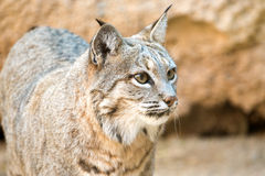 Bobcat head shot , Arizona Stock Images