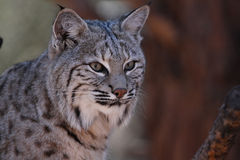 Bobcat Head shot. Picture of a Bob Cats Head Royalty Free Stock Images