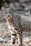 Bobcat. Head and shoulders, (Lynx rufus), California, Yosemite National Park. Taken 09.13, Copyright David Hoffmann Royalty Free Stock Photography