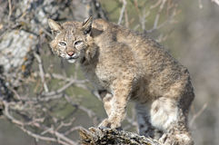 Bobcat at her den. Bobcat coming from her den in North DakotaBadlands Royalty Free Stock Images