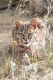 Bobcat het besluipen op prooi Stock Fotografie