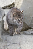 Bobcat het besluipen tussen rotsen Royalty-vrije Stock Foto