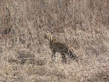 A Bobcat. Hidden in the grass in the Serengeti national park Tanzania, Africa Stock Image