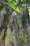 Bobcat hiding. In hollow tree stump, peeking out Stock Image
