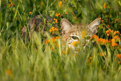 Bobcat hiding in a grass with flowers Stock Image