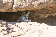 Bobcat hiding in a rocky ledge. In the desert Royalty Free Stock Image