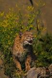 Bobcat in Honingklaver Stock Fotografie
