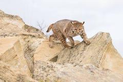 Bobcat on hunt royalty free stock image
