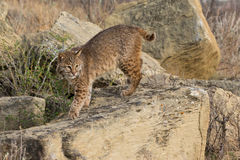 Bobcat on hunt stock images