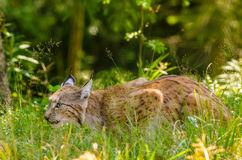 Bobcat hunting Stock Image