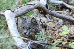 Bobcat hunting. Lynx rufus, California, Yosemite National Park Royalty Free Stock Image