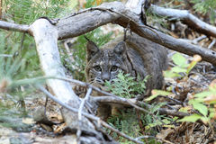 Bobcat hunting Stock Images