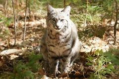 Bobcat hunting Royalty Free Stock Image