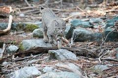 Bobcat hunting Stock Photos