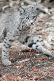 Bobcat hunting Royalty Free Stock Photo