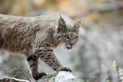 Bobcat hunting Stock Photo