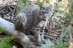 Bobcat hunting Royalty Free Stock Images
