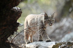 Bobcat hunting Royalty Free Stock Images