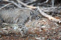Bobcat hunting Stock Photography