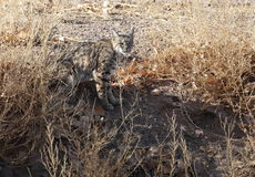 A Bobcat hunting rabbits. A Bobcat is hunting rabbits in winter in New Mexico Royalty Free Stock Photography