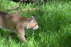 Bobcat Hunting in the Tall Grasses Royalty Free Stock Photography