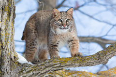 Bobcat hunting wild turkeys. In tree Royalty Free Stock Photos