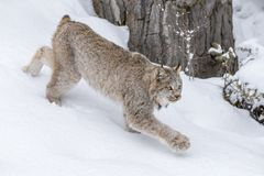 Bobcat In The Snow