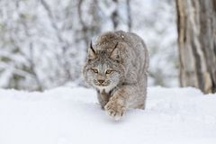 Bobcat In The Snow. A bobcat hunts for prey in a snowy forest habitat Stock Photo