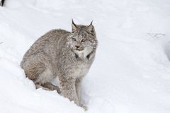 Bobcat In The Snow. A bobcat hunts for prey in a snowy forest habitat Royalty Free Stock Photography