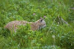 Bobcat i gräs- äng Fotografering för Bildbyråer