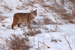 Bobcat On il vagare in cerca di preda Fotografie Stock