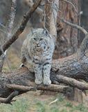 Bobcat. An image of a bobcat on a tree Stock Photography